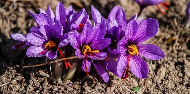 saffron-1136778_640